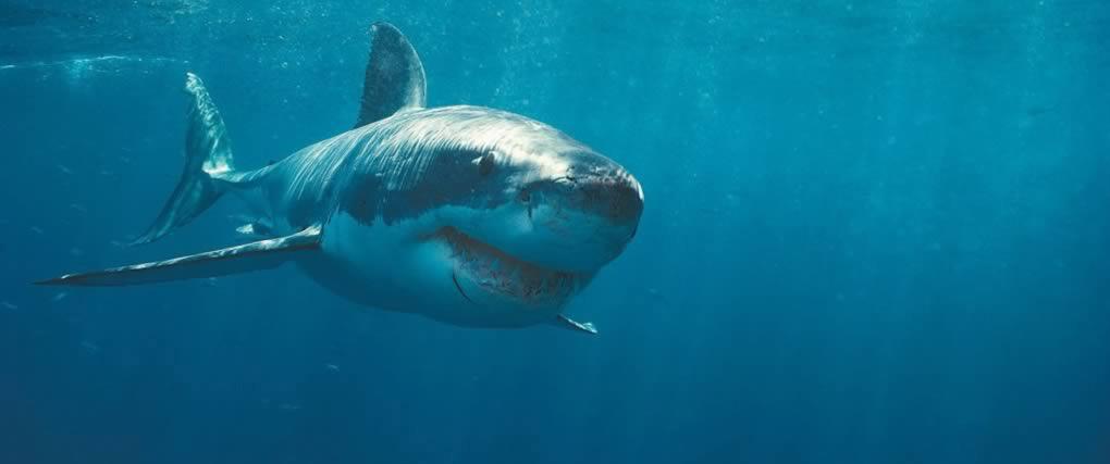 shark-web